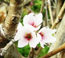 Đà Lạt trồng thành công loài hoa đào đẹp nhất Nhật Bản